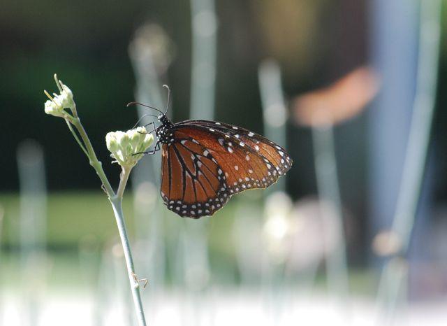 queen-butterfly-1