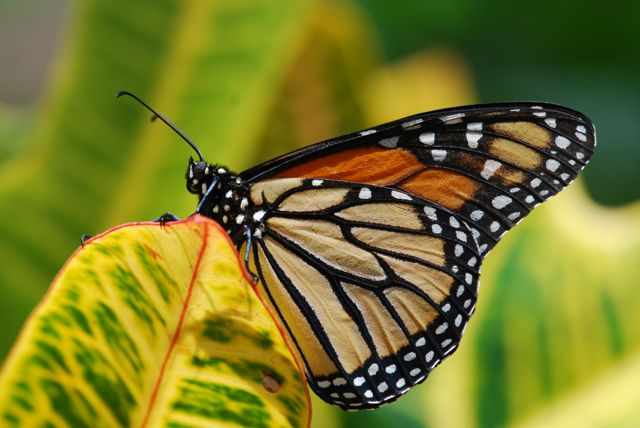 beautiful-monarch