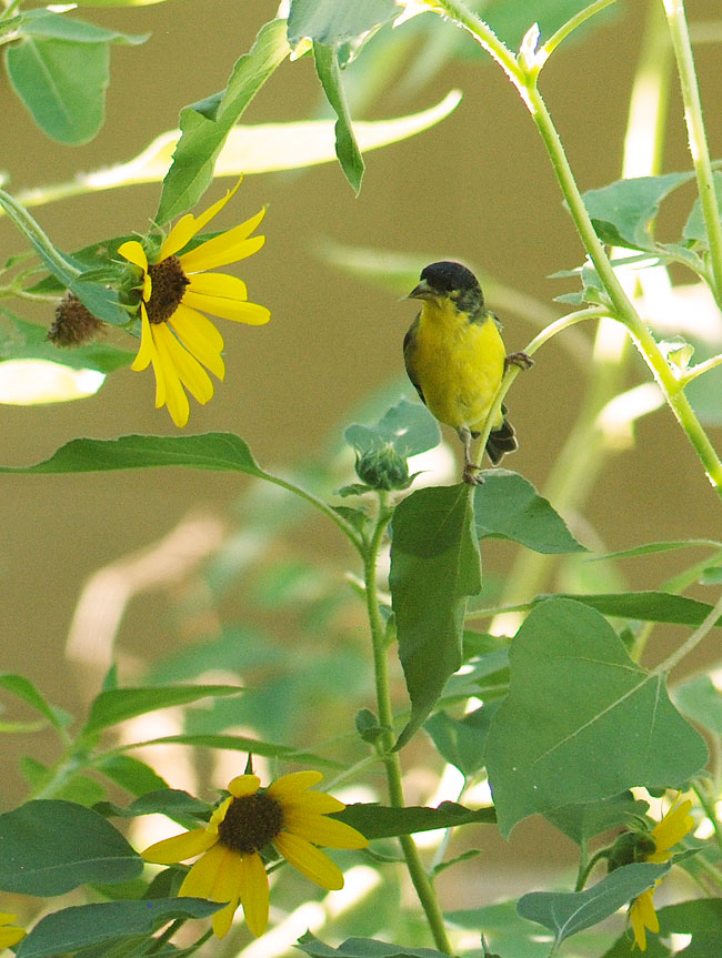 goldfinch-ps