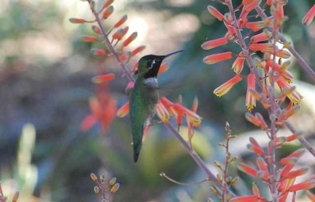 hummingbird-dbg-wkids