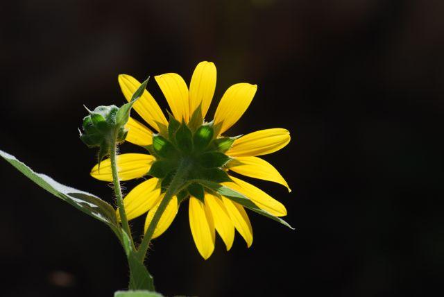sunflower-back