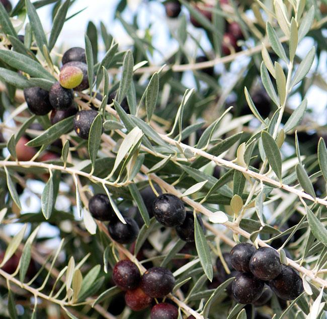 olives-22