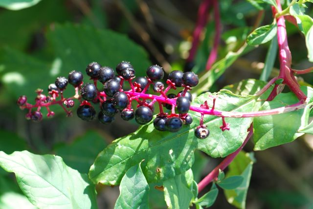 pokeweed-fruit-11