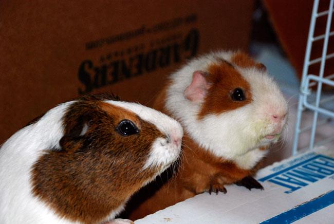guinea-pigs-101