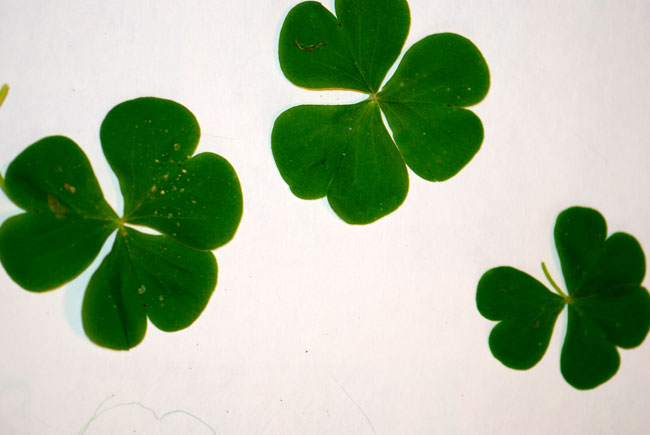 shamrock-leaves-oxalis