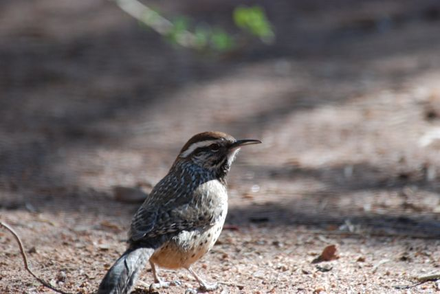 cactus-wren-closer