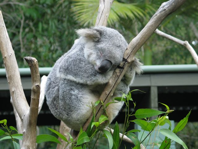 koala-in-a -tree-good-00_IMG
