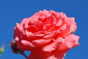 -pink-rose-200